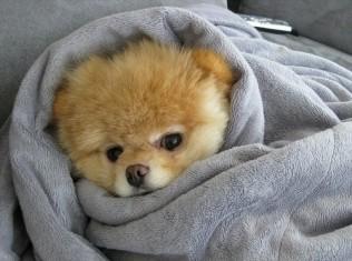 wrapped animal,cute,dog-0a0ffc9ee7f5b3e8cf329884a7430a8b_h